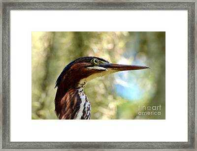 Little Green Heron Portrait Framed Print by Kathy Baccari