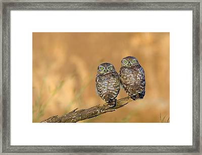 Little Owl Athene Noctua Couple Framed Print by Photostock-israel