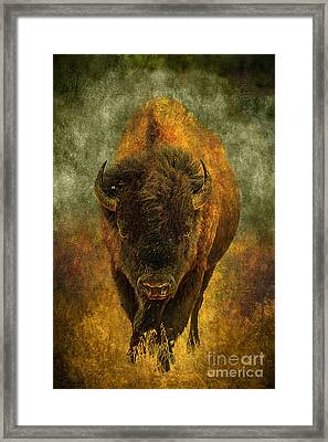 Lone Buffalo Framed Print