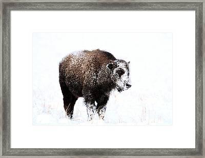 Lone Calf Framed Print