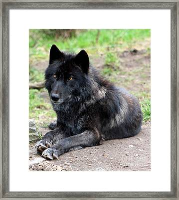 Lone Wolf Framed Print by Nick Gustafson
