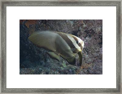 Longfin Spadefish, Beqa Lagoon, Fiji Framed Print by Terry Moore