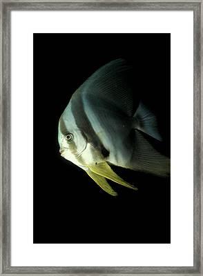 Longfin Spadefish, South Ari Atoll Framed Print by Steve Jones