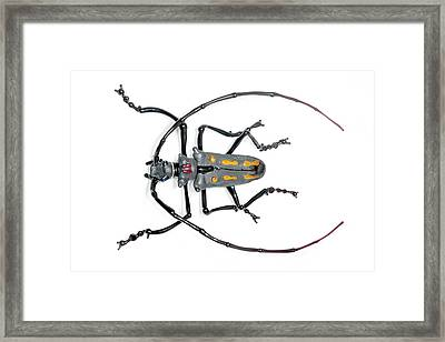 Longhorn Beetle Framed Print by Tomasz Litwin