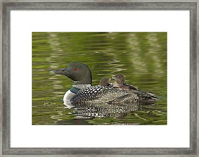 Loon Parent With Two Chicks Framed Print