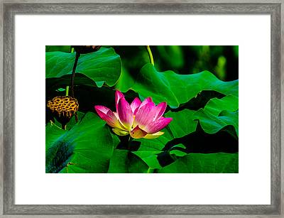 Lotus Blossom Framed Print by Louis Dallara