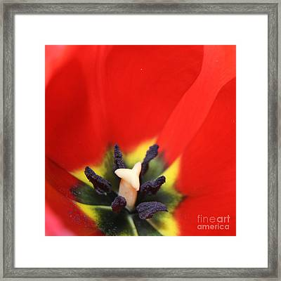 Love Is A Gift -  Tulip Pistil Detail Framed Print by Sharon Mau