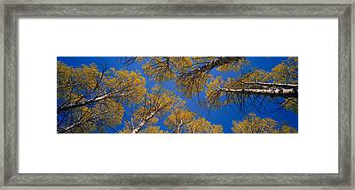 Low Angle View Of Aspen Trees, Eastern Framed Print by Panoramic Images