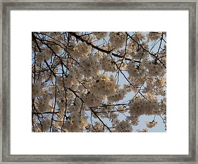 Low Angle View Of Cherry Blossom Framed Print