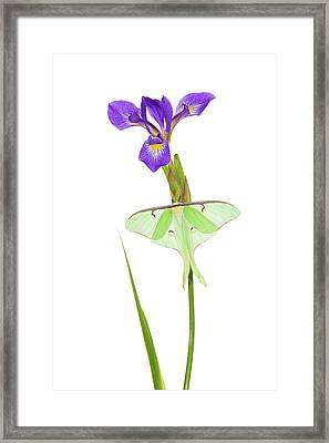 Luna Moth Actias Luna Perching On Blue Framed Print by Panoramic Images