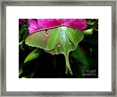Lady Luna Moth Framed Print