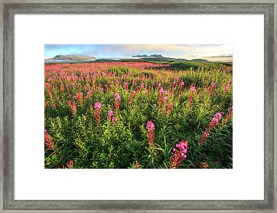 Lupine Field Mcneil River State Game Framed Print by Tom Norring