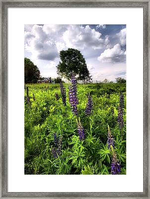 Lupines  Framed Print by Andrea Galiffi