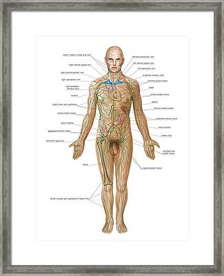 Lymphoid System Framed Print by Asklepios Medical Atlas