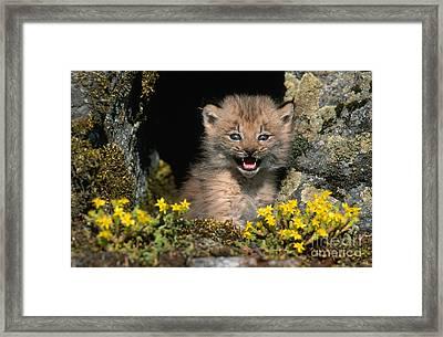 Lynx Kitten Framed Print by Jeffrey Lepore