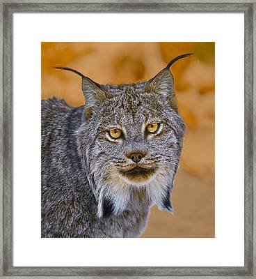 Framed Print featuring the photograph Lynx by Steve Zimic