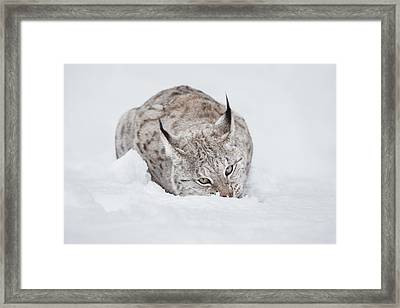 Lynx Wild Cat Framed Print