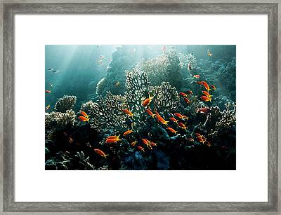 Lyretail Anthias On A Reef Framed Print