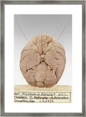 Macaque Brain Framed Print by Ucl, Grant Museum Of Zoology