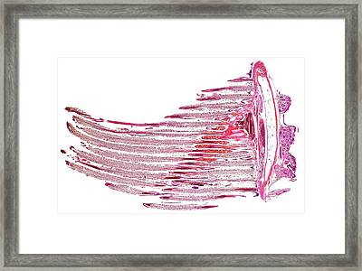 Mackerel Gills Framed Print by Dr Keith Wheeler