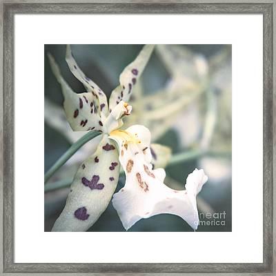 Maclellanara Pagan Love Song - Oncidium Orchid - Chocolate Thunder  Framed Print by Sharon Mau