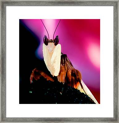 Macro Closeup Of The Orchid Male Mantis Framed Print
