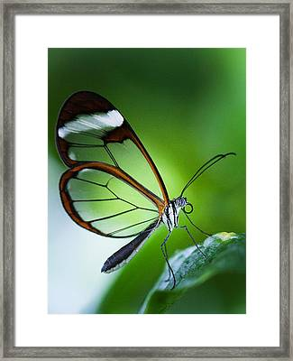 Macro Photograph Of A Glasswinged Butterfly Framed Print