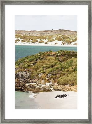 Magellanic Penguins Framed Print by Ashley Cooper