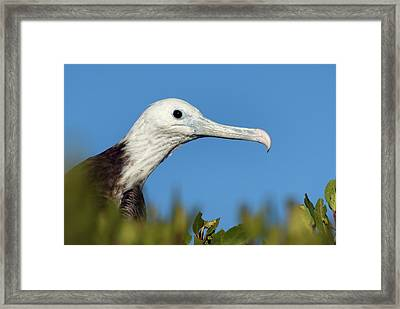 Magnificent Frigate Bird Framed Print by Christopher Swann/science Photo Library