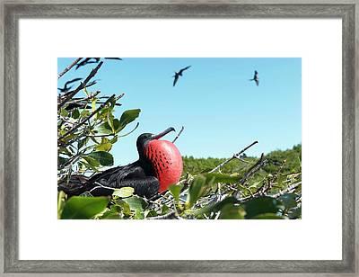 Magnificent Frigatebird Framed Print by Christopher Swann