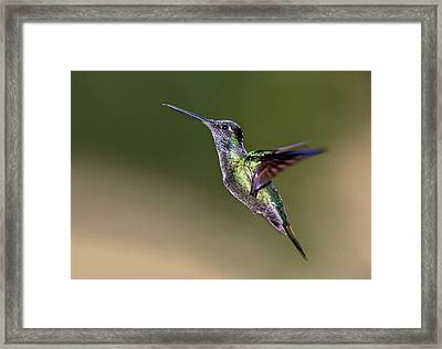 Magnificent Hummingbird In Flight Framed Print