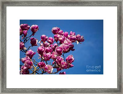 Magnolia Blossoms Framed Print by Mandy Judson