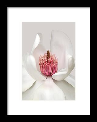 Magnolia Framed Prints