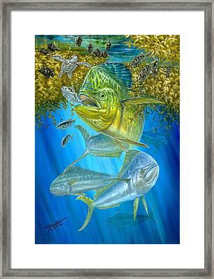 Mahi Mahi Hunting In Sargassum Framed Print by Terry  Fox