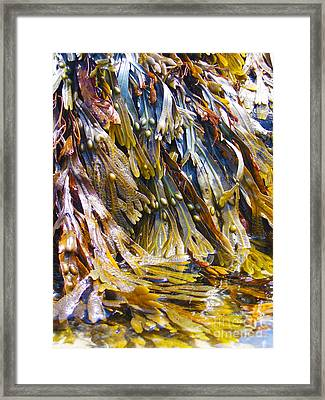 Maine Seaweed 7 Framed Print by Christine Dion