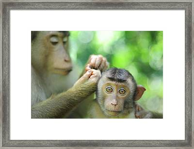 Malaysia, Borneo, Sepilok, Southern Framed Print by Anthony Asael