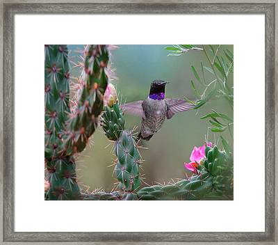 Male Black-chinned Hummingbird Framed Print