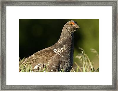 Male Blue Grouse At The National Bison Framed Print