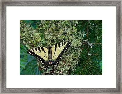 Male Canadian Tiger Swallowtail Framed Print by Darrell Gulin