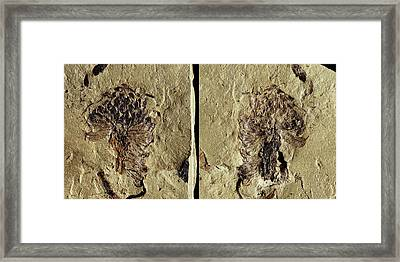 Male Conifer Cone Fossil Framed Print