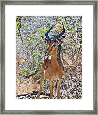 Male Impala In Kruger National Park-south Africa   Framed Print by Ruth Hager