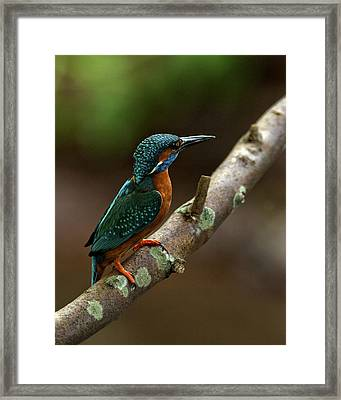 Male Kingfisher Framed Print by Paul Scoullar