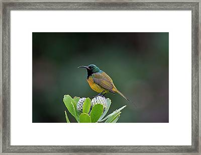 Male Orange-breasted Sunbir Framed Print by Tony Camacho