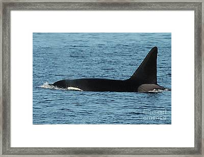 Framed Print featuring the photograph Male Orca Killer Whale In Monterey Bay California 2013 by California Views Mr Pat Hathaway Archives