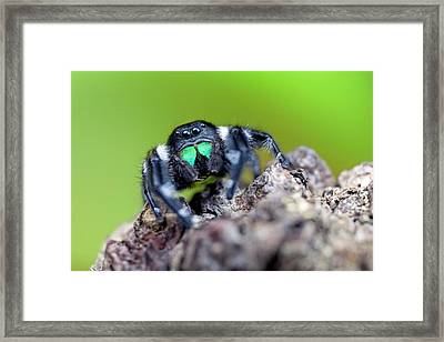 Male Regal Jumping Spider Framed Print