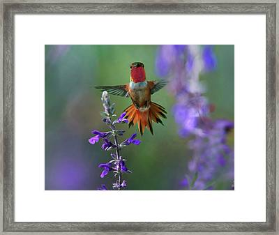 Male Rufous Hummingbird (selasphorus Framed Print