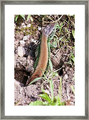 Male Sand Lizard Framed Print