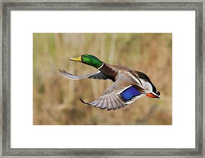 Mallard Drake Taking Flight Framed Print by Ken Archer