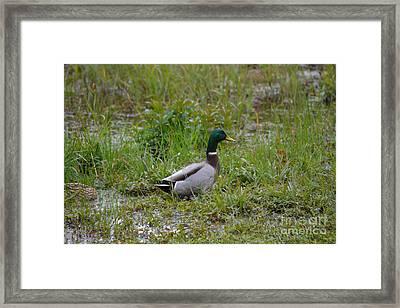 Mallard Duck   Framed Print by Ruth  Housley