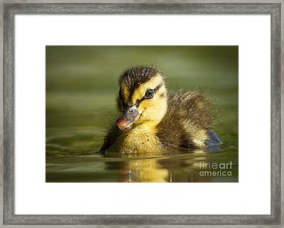 Mallard Duckling Framed Print by Carl Jackson